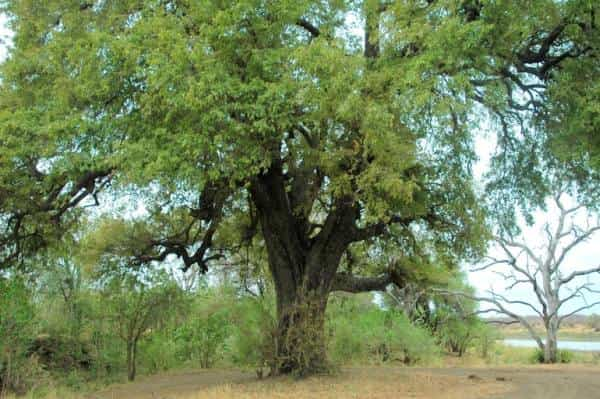 African Ebony (Diospyros mespiliformis) is also called the Jackal Berry, and generally found near rivers and wet-lands in sub-tropical African regions.